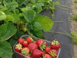 Darbas uogininkystės-daržininkystės ūkyje Prienų raj (2)