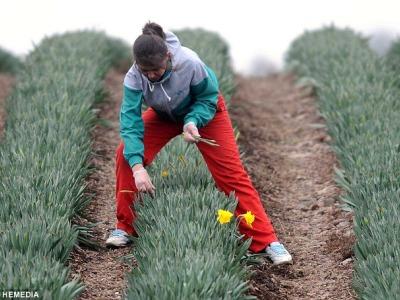 Darbas gėlių plantacijose ir sandėlyje (1)